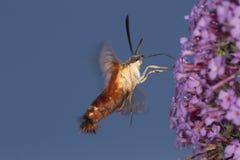 Polilla de halcón clearwing del colibrí que asoma cerca de flo del arbusto de mariposa Imagen de archivo