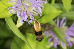 Polilla de halcón clearwing del Snowberry que forrajea en flujo del bálsamo de abeja de la lavanda Imagen de archivo