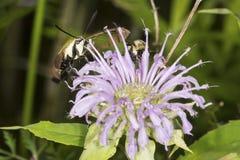 Polilla de halcón clearwing del Snowberry que forrajea en flujo del bálsamo de abeja de la lavanda Imágenes de archivo libres de regalías