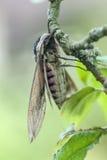 Polilla de halcón de la alheña, ligustri de la esfinge Fotografía de archivo