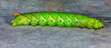Polilla de halcón verde grande del tilo de la oruga imagen de archivo