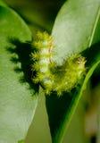 Polilla de Io Caterpillar Foto de archivo libre de regalías