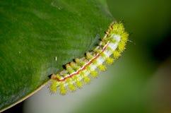 Polilla de Io Caterpillar Fotografía de archivo libre de regalías