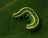 Polilla de la escoba, larva del pisi de Melanchra foto de archivo libre de regalías