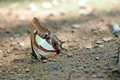 Polilla de la mariposa Fotografía de archivo libre de regalías