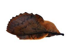 Polilla de orejera Imagen de archivo libre de regalías