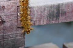 Polilla de orejera Caterpillar de Borneo, primer Imagenes de archivo