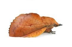 Polilla de orejera (quercifolia de Gastropacha) Imagen de archivo libre de regalías