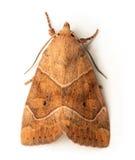 Polilla de Owlet Imagenes de archivo