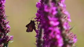 Polilla de plata de Y, gamma de Autographa, recogiendo el néctar de una flor de la lisimaquia púrpura durante augusto en Escocia almacen de metraje de vídeo