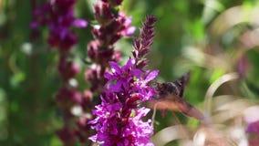 Polilla de plata de Y, gamma de Autographa, recogiendo el néctar de una flor de la lisimaquia púrpura durante augusto en Escocia almacen de video