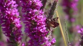Polilla de plata de Y, gamma de Autographa, recogiendo el néctar de una flor de la lisimaquia púrpura durante augusto en Escocia metrajes