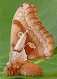 Polilla de Polyphemus fotografía de archivo libre de regalías
