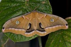 Polilla de Polyphemus Foto de archivo libre de regalías