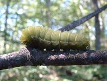 Polilla de Polyphemus Caterpillar Imagen de archivo