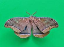 Polilla de Polyphemus con su extensión de las alas fotos de archivo libres de regalías