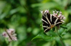 Polilla de tigre del jersey en una flor Imagen de archivo