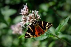 Polilla de tigre del jersey en una flor Imágenes de archivo libres de regalías