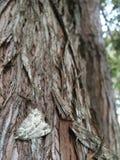 Polilla en corteza de árbol Imagenes de archivo
