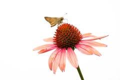 Polilla en la flor Fotos de archivo