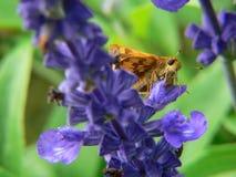 Polilla en la flor azul fotos de archivo