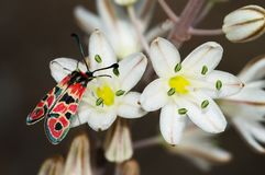 polilla en las flores - Zygaena Fausta de Burnet del Día-vuelo Fotografía de archivo
