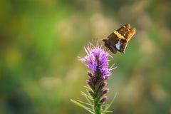 Polilla en wildflower Imágenes de archivo libres de regalías