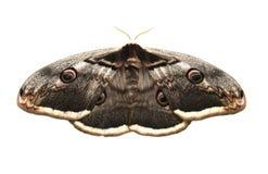 Polilla gigante del pavo real Fotos de archivo libres de regalías