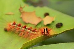 Polilla gitana/Lymantria dispar Fotografía de archivo libre de regalías