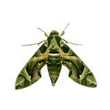 Polilla verde Fotos de archivo
