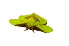 Polilla verde imagen de archivo