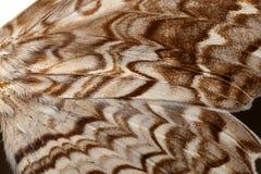 Polilla Wing Closeup Foto de archivo libre de regalías