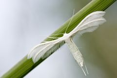 Polillas blancas del penacho Imagen de archivo