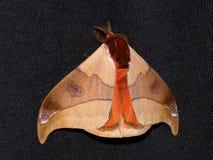 Polillas con las alas abiertas (hamata del Automeris) Imágenes de archivo libres de regalías