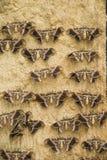 Polillas en una pared en filas Imágenes de archivo libres de regalías