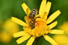 Polinates пчелы на цветке Стоковые Изображения RF