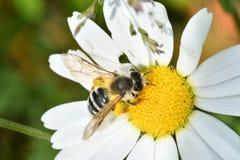 Polinates пчелы на цветке Стоковое Фото