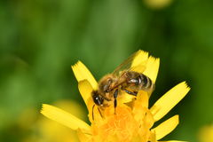 Polinates пчелы на цветке Стоковое фото RF