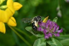 Polinates пчелы на цветке Стоковое Изображение RF