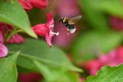 Polinates пчелы на цветке Стоковые Изображения