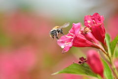 Polinates пчелы на цветке Стоковые Фото