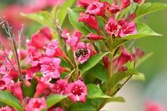 Polinates пчелы на цветке Стоковые Фотографии RF