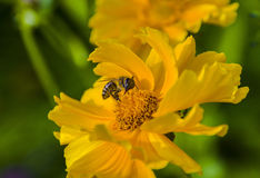 Polination. Capture of a bee as it pollinates a flower Royalty Free Stock Photo