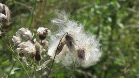 Polination pelo vento Fotografia de Stock