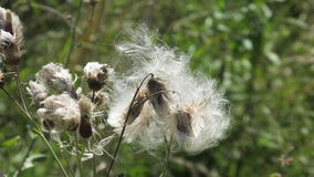 Polination by wind. Wild plants and  wind polination Stock Photography