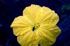 Polinização da flor da abóbora fotografia de stock