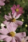 Polinização do inseto Fotografia de Stock Royalty Free