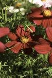 Polinização do inseto Imagens de Stock Royalty Free