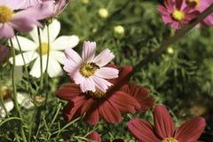 Polinização do inseto Fotos de Stock Royalty Free