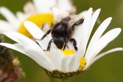 Polinización - abeja en la flor Imágenes de archivo libres de regalías
